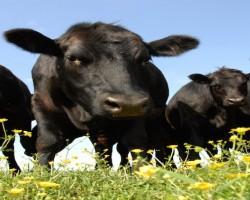 April 20, 2015 Livestock Market Report